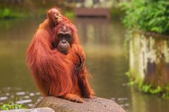 Orangutan in the Singapore Zoo Royalty Free Stock Photos