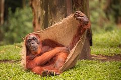 Orangutan in the Singapore Zoo Stock Photos