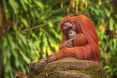 Orangutan in the Singapore Zoo Stock Photos