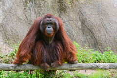 Orangutan. Sitting on artificial log Royalty Free Stock Photography
