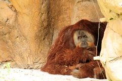 Orangutan sitting Royalty Free Stock Photos