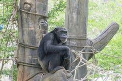 The orangutan. royalty free stock photos