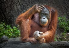 Orangutan sitting in nature. stock image