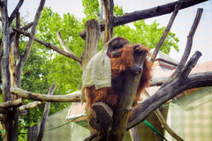 Orangutan sitting on a tree in the zoo and covered with a white blanket stock image