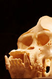 Orangutan skull 3 Royalty Free Stock Photography