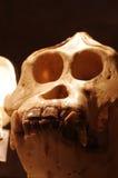 Orangutan skull 4 Stock Image