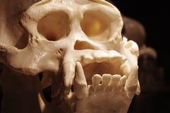 Orangutan skull Royalty Free Stock Photography