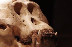 Orangutan skull 2 Stock Photo