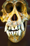 Orangutan skull Royalty Free Stock Photos