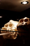Orangutan skulls Stock Images