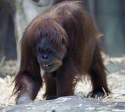 Orangutan sorridente Immagine Stock