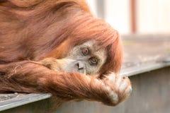 Orangutan Stares at Camera with Sadness. A sad looking orangutan stares directly at the camera with pleading eyes Royalty Free Stock Photography