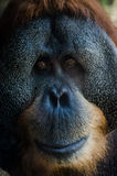 Orangutan stary portret Obrazy Royalty Free