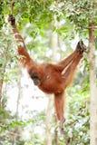 Orangutan in Sumatra. Orangutan in the jungle of Sumatra Stock Photos
