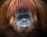 Orangutan Sumatran έντονα μάτια Στοκ φωτογραφίες με δικαίωμα ελεύθερης χρήσης