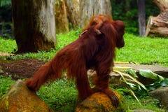 Orangutan Sumatran Στοκ φωτογραφία με δικαίωμα ελεύθερης χρήσης