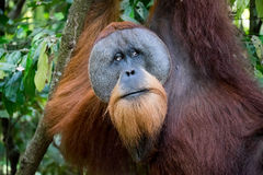 Orangutan. Sumatran orangutan hanging in the trees Stock Photo