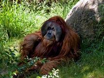 orangutan sumatryjskiej Obrazy Stock