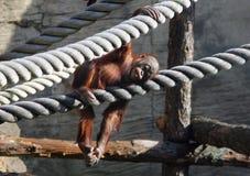Orangutan sveglio del bambino che riposa nell'uccelliera Fotografia Stock
