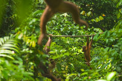 Orangutan Swinging Through Jungle Sepilok Stock Images