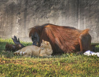 Orangutan and Tabby Cat Friends Royalty Free Stock Images
