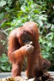 Orangutan in tanjung puting national park Royalty Free Stock Photo