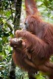 Orangutan and Baby Orangutan stock images