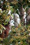 Orangutan in tanjung puting national park Royalty Free Stock Photos