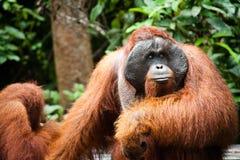Orangutan in tanjung puting national park Royalty Free Stock Images