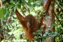 Orangutan in tanjung puting national park Stock Photos