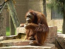 Orangutan thinking. Orangutan Really thinking Royalty Free Stock Photo