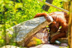 Orangutan in thirst. An orangutan drinks water from an artificial spring Stock Images