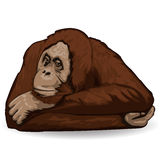 Orangutan. Thoughtful Ape Lies Back Up With Folded Hands Behind His Head. Royalty Free Stock Photos