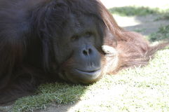 Orangutan (thoughtful face). Orangutan thrown in the grass with humble face, cheers and thinking Royalty Free Stock Photo