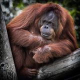 Orangutan in tree Royalty Free Stock Photo