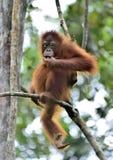 Orangutan on the tree in a natural habitat. Bornean orangutan Pongo pygmaeus wurmmbii in the wild nature. Rainforest of Isla. Young orangutan in a natural Stock Photo
