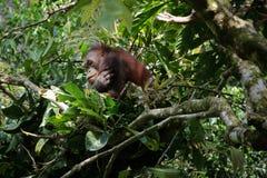 Orangutan in a tree royalty free stock image