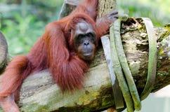 Orangutan on the tree (Pongo pygmaeus) Stock Photos