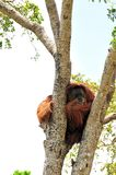 Orangutan in tree Royalty Free Stock Image