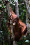 Orangutan in a Tree Stock Image