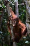 Orangutan in a Tree. A young Orangutanclimbing in a tree in Sabah, Malysian Borneo Stock Image