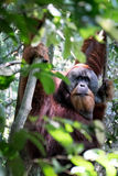 Orangutan in the trees Royalty Free Stock Photo