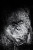 Orangutan triste Fotografie Stock Libere da Diritti