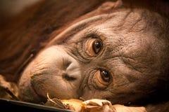 Orangutan twarz Obraz Royalty Free