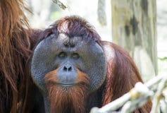 Orangutan twarz Zdjęcie Royalty Free