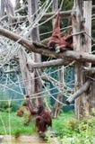 Orangutan. Two orangutans posing in a playground Stock Photography