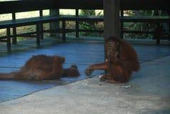 Orangutan w Borneo, Malaysia Zdjęcie Stock