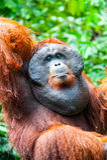 Orangutan w Kalimantan tanjung kładzenia parku narodowym Indonesia Fotografia Royalty Free