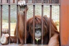 Orangutan w klatce obraz stock