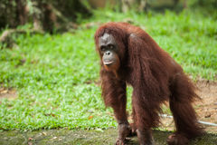 Orangutan w Malezyjskim zoo Zdjęcia Royalty Free
